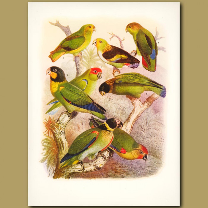 Parrots: Golden-tailed, Little Amazon, Mitred, Hooded, Vulturine