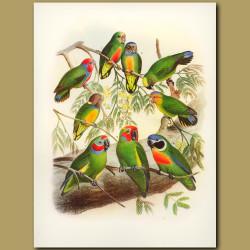 Pygmy Parrots