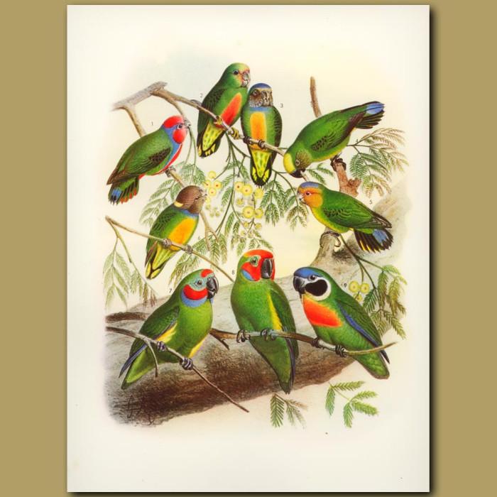 Antique print. Pygmy Parrots