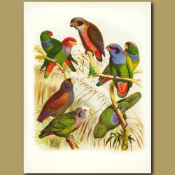Parrots: Red-beaked, Restless, Dusky, Blue-headed