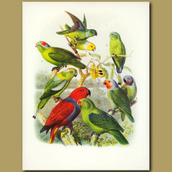 Parrots: Simple, Yellow-headed, Phillipine Racket-tailed