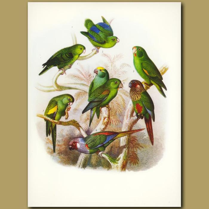 Antique print. Parrots, Parrakeets And Conures