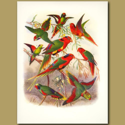 Lorikeets: Red-rumped, Arfak, Pectoral, Wilhelmina, Papuan