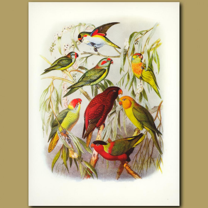 Antique print. Lorikeets And Solitary Parrot
