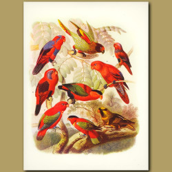 Lorys: Blue-tailed, Carmine-fronted, Violet-necked, Red