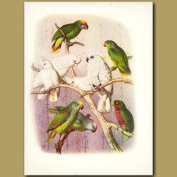 Amazon Parrots: Red-tailed, August, Yellow-fronted