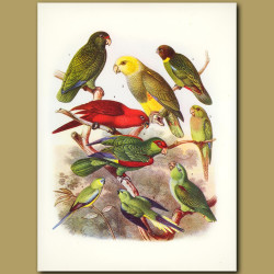 Parrots: Amazon, Aztec and Cardinal Lory