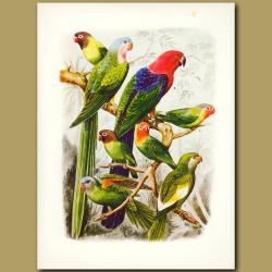 Parakeets: Princess of Wales, White-winged, Orange flanked, Amboina Red