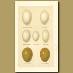 Grebe And Bittern Eggs