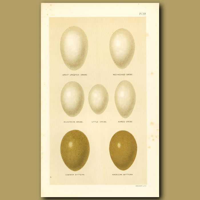 Antique print. Grebe And Bittern Eggs