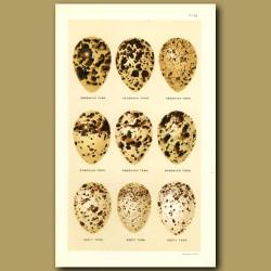 Sandwich And Sooty Tern Eggs