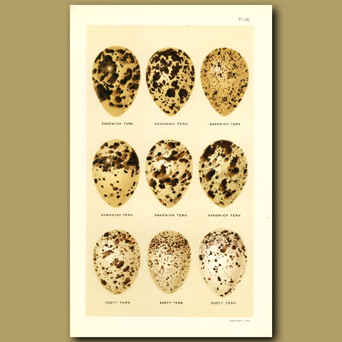 Antique print. Sandwich And Sooty Tern Eggs