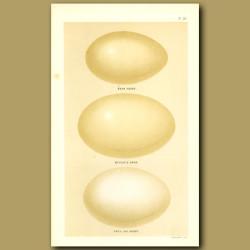 Bean Goose, Bewick's Swan And Grey Lage Goose Eggs