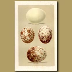 Falcon And Vulture Eggs