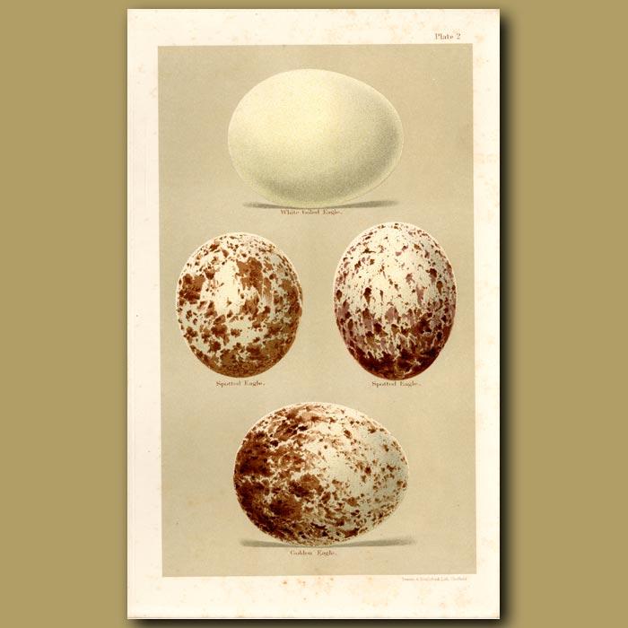 Antique print. Falcon And Vulture Eggs