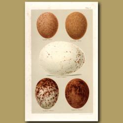 Eagle Eggs