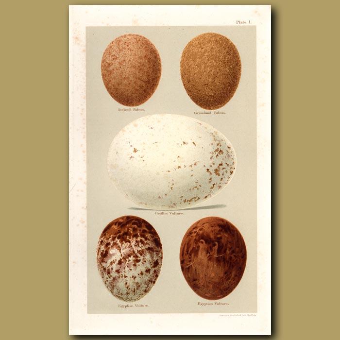 Antique print. Eagle Eggs