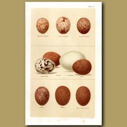 Kestrel And Falcon Eggs