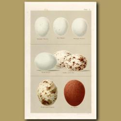 Harrier And Kite Eggs