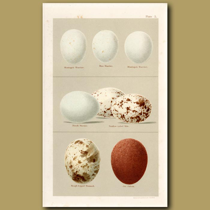 Antique print. Harrier And Kite Eggs