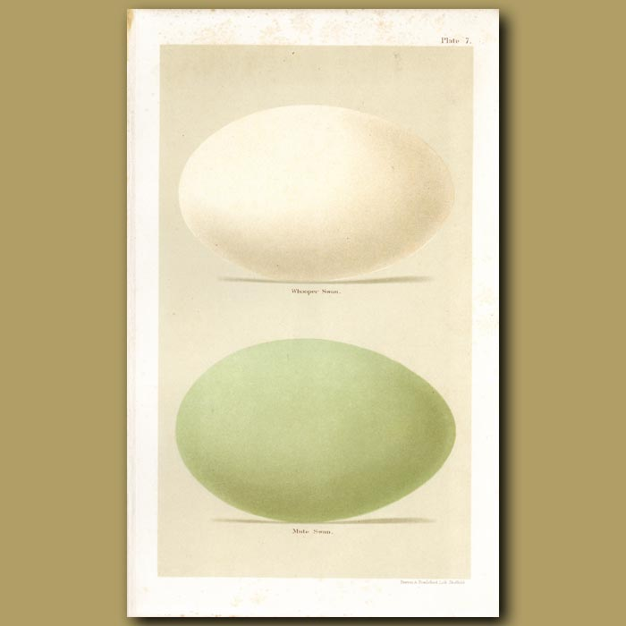 Antique print. Swan Eggs