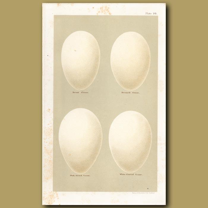 Antique print. Goose Eggs