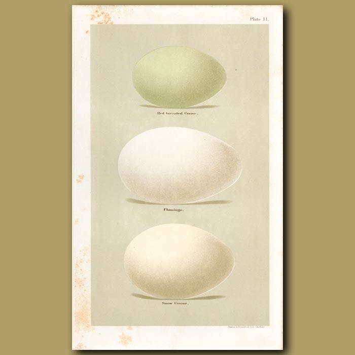 Antique print. Goose And Flamingo Eggs