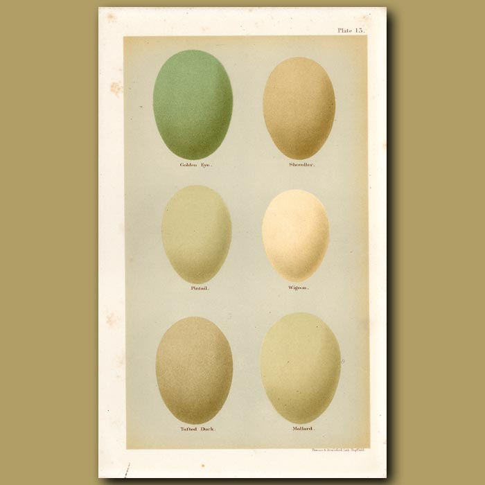Antique print. Duck Eggs
