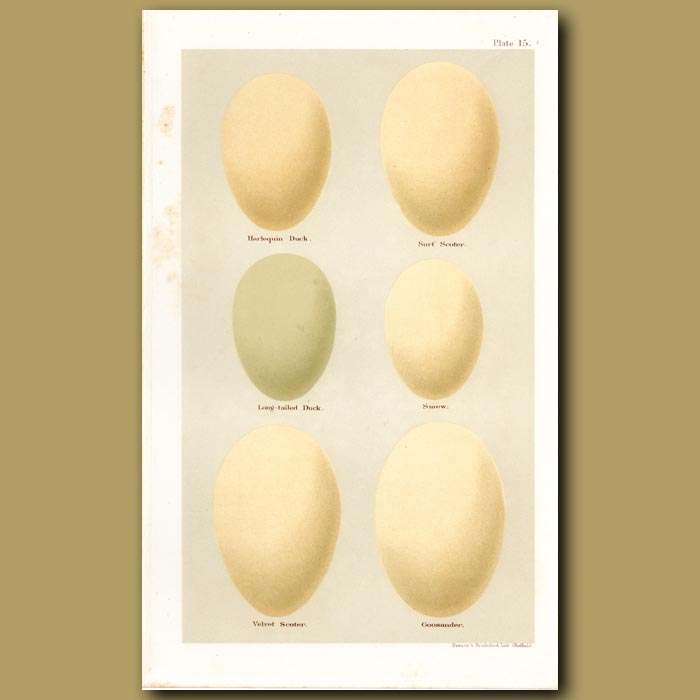 Antique print. Duck And Scoter Eggs