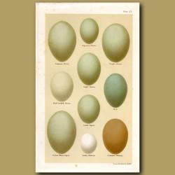 Heron Eggs