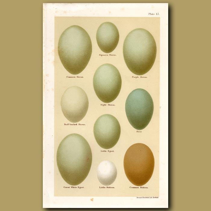 Antique print. Heron Eggs