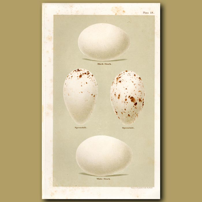 Antique print. Stork And Spoonbill Eggs