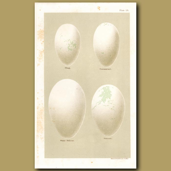Antique print. Cormorant And Pelican Eggs