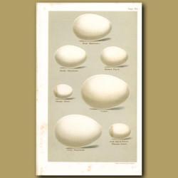 Petrel Eggs