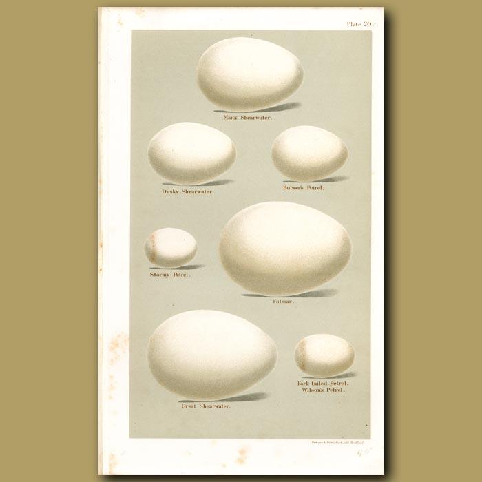 Antique print. Petrel Eggs