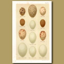 Grebe Eggs