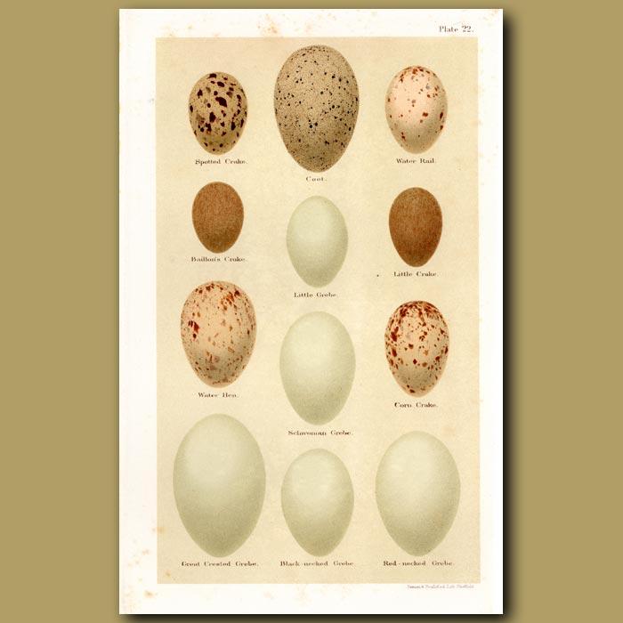 Antique print. Grebe Eggs