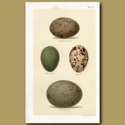 Bustard Eggs