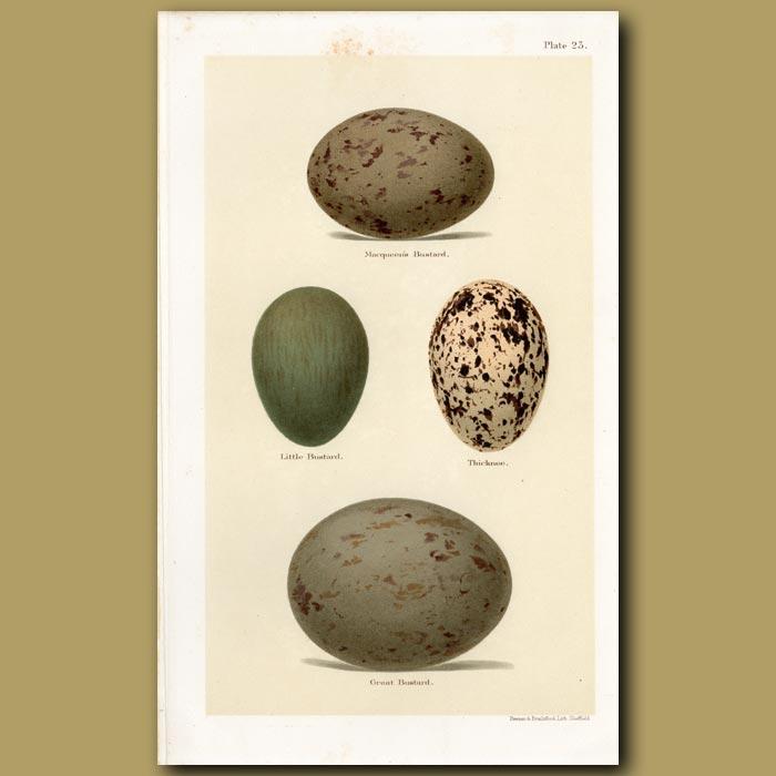 Antique print. Bustard Eggs