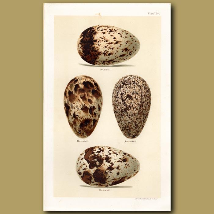 Antique print. Razorbill Eggs