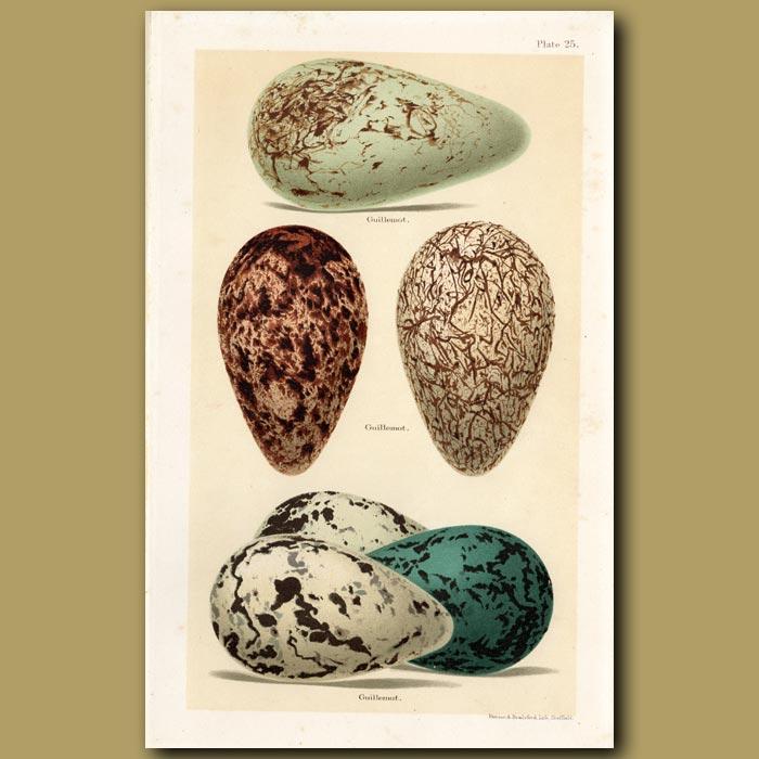 Antique print. Guillemot Eggs