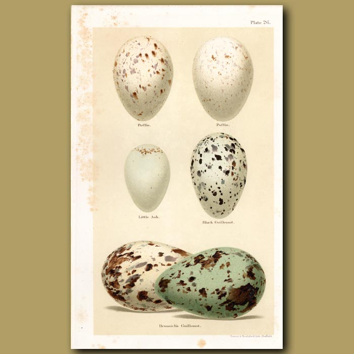 Antique print. Puffin And Auk Eggs