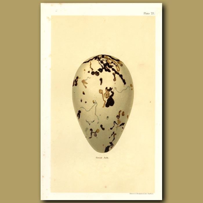 Antique print. Great Auk Egg