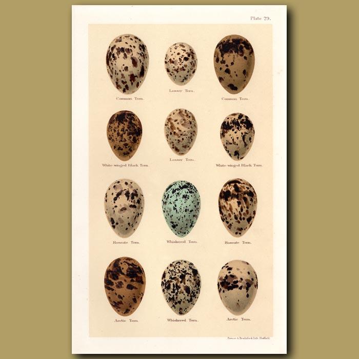 Antique print. Tern Eggs
