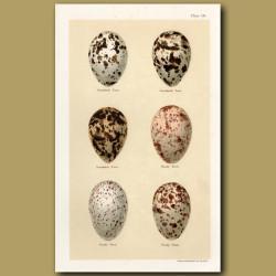 Sandwich Tern Eggs