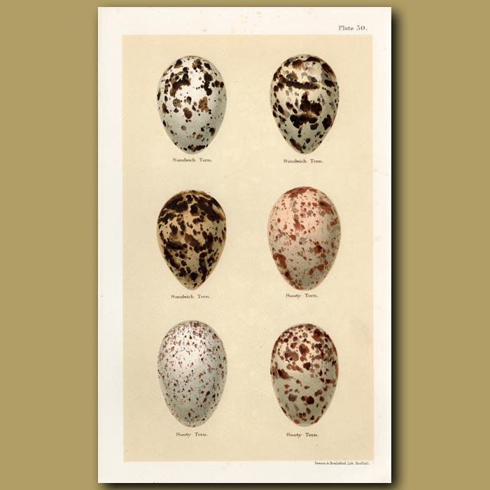 Antique print. Sandwich Tern Eggs