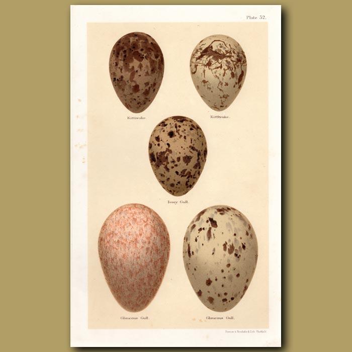 Antique print. Gull Eggs
