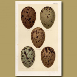 Gull Eggs