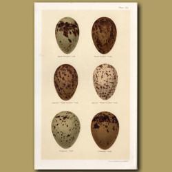 Black-Headed Gull Eggs