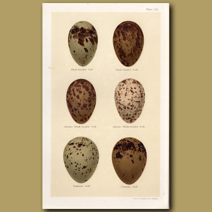 Antique print. Black-headed Gull Eggs